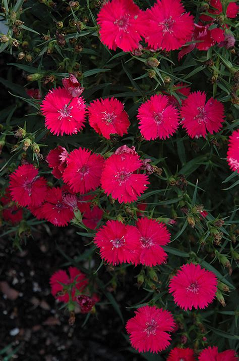 Ideal Select Rose Pinks (Dianthus 'Ideal Select Rose') in
