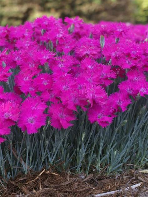 Garden Pinks Dianthus Neon Star from Growing Colors